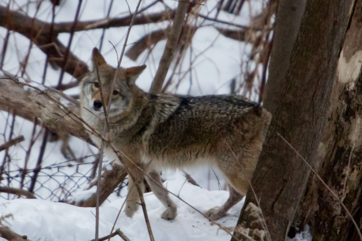 A coyote spotted in Neville Park. Photo: George Socka / Toronto Neville Parkcoyote eying breakfast